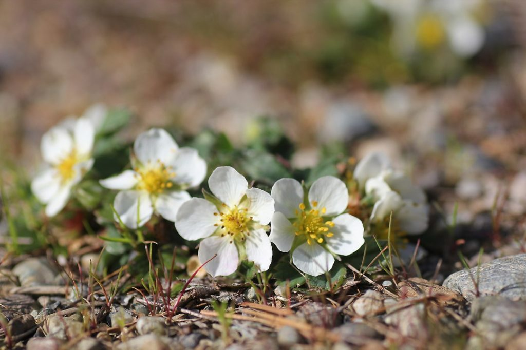 Wild-Strawberry-Blossoms